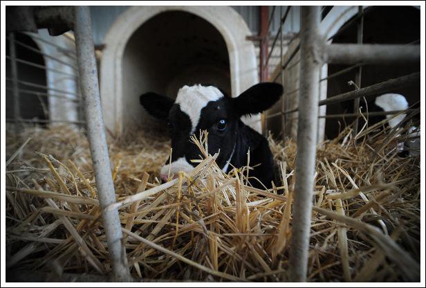 Calf-Veal-Farm